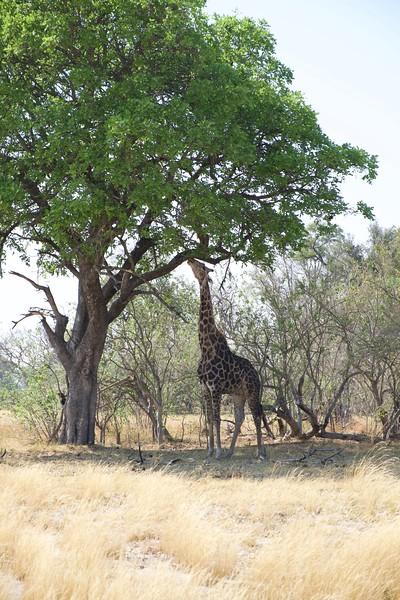 giraffe, Shinde camp, Botswana