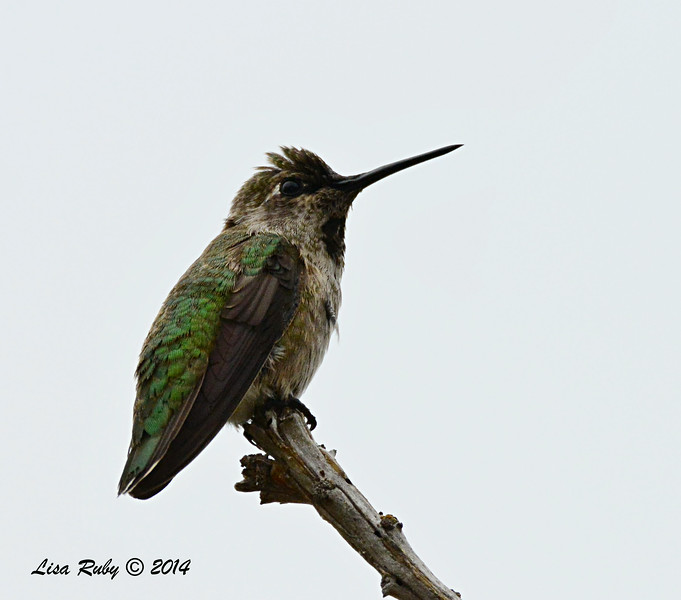 Not sure which hummer this is, might be Juvenile Male Costa's - 8/2/2014 - Backyard, Sabre Springs
