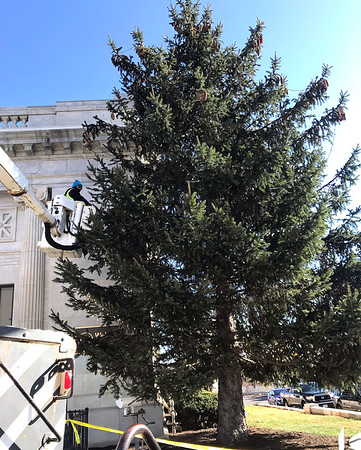11/13/2019 Mike Orazzi | StaffrJohn berry of Consolidated Electric strings Christmas lights on the evergreen tree at the corner of Main Street and Riverside Avenue at Webster Bank in downtown Bristol on Wednesday morning.