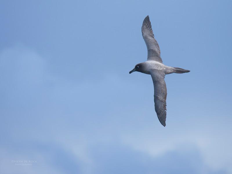 Light-mantled Sooty Albatross, Eaglehawk Neck Pelagic, TAS, May 2016.jpg