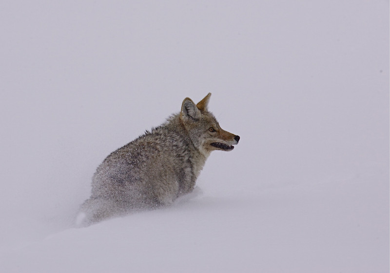 A Yellowstone Coyote founders in several feet of powdery snow.