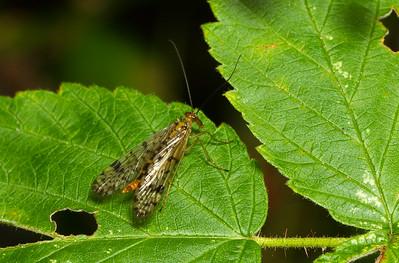 Scorpionflies, Hangingflies, and Allies