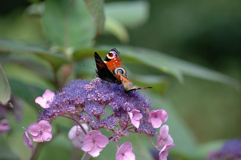 Project_20060813Peacock Butterfly0010.JPG