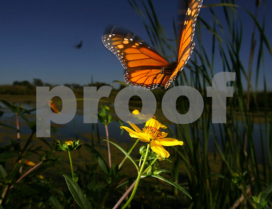 flight-of-the-monarchs-in-texas-in-jeopardy