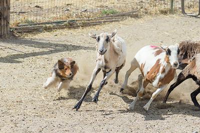 PM Course A Sheep - ADV
