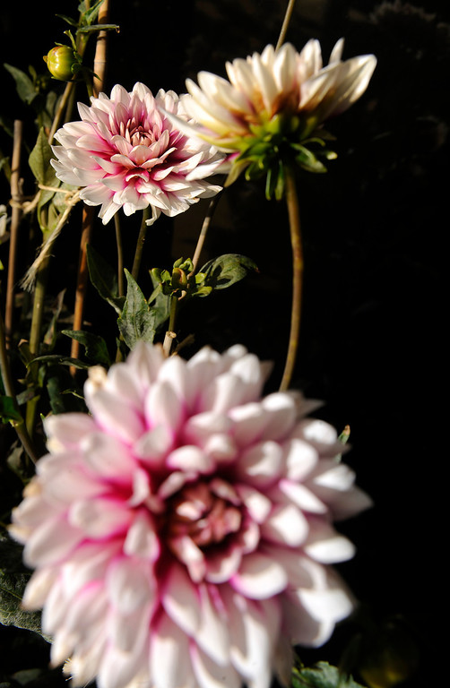 """. \""""I\'m a big dahlia fan, and they thrive up here,\"""" says Trimpa, who grew up on a small farm in southwestern Kansas, amazed by his grandmother\'s gardening skill. (Cyrus McCrimmon, The Denver Post)"""