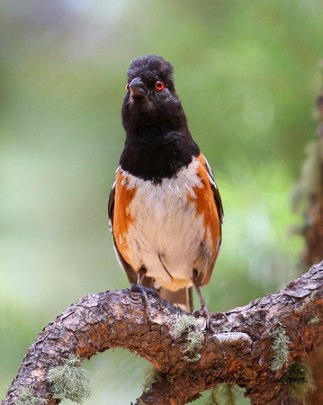 Spotted Towhee in southeast Arizona