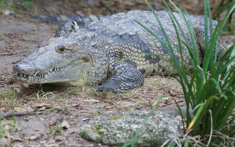 Morlet's Crocodile