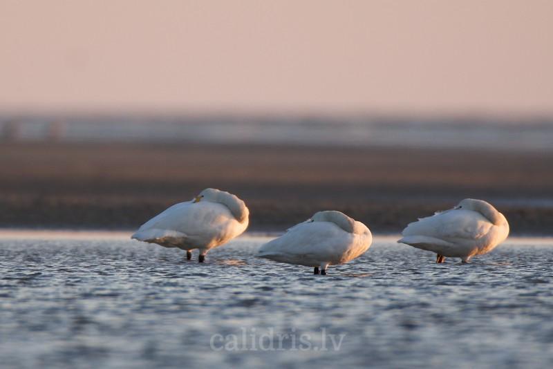 Bewick's swan / Mazie gulbji
