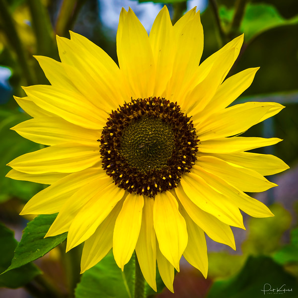 Sonoma Sunflower