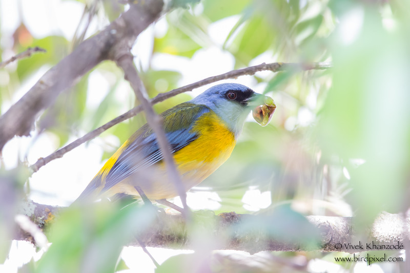 Blue-and-yellow Tanager - Record - El Albergue Hotel, Ollantaytambo, Peru