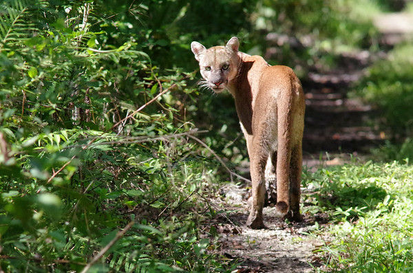 Florida Panthers in the wild