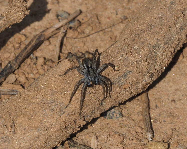 Ground spicer species