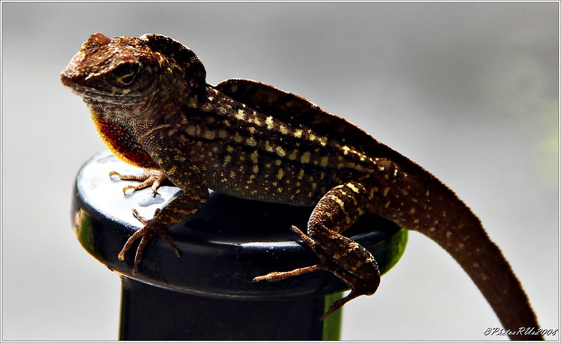 Brown anoles lizard......Clearwater,Florida