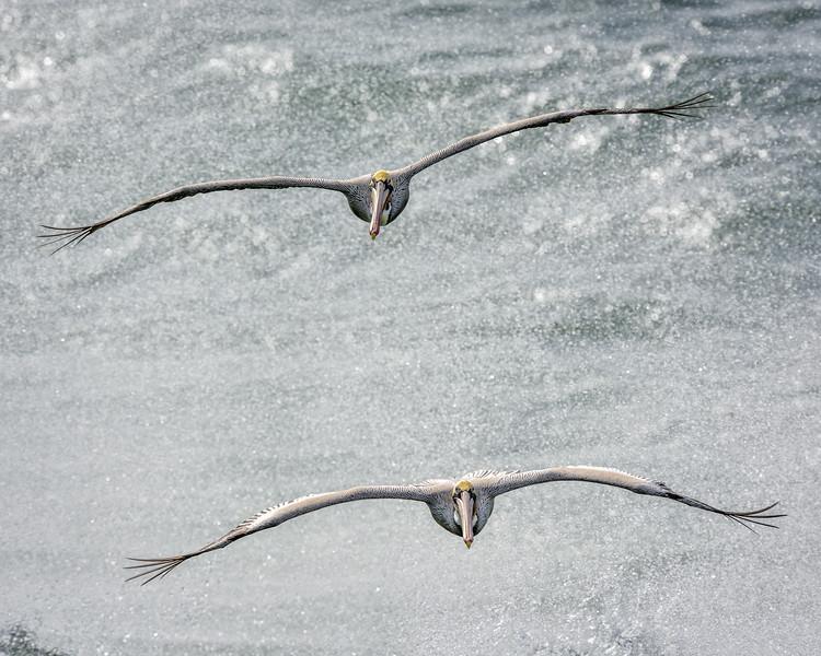 -_Brown Pelican  2014-12-24_031 BigSur-2.jpg