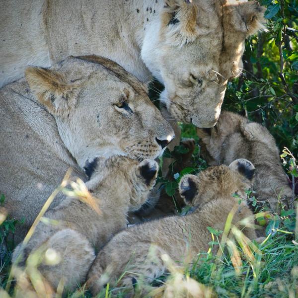 Lion daycare
