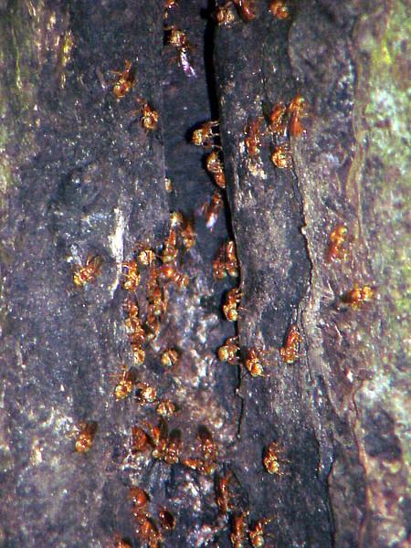 Stingless Bees at La Selva Costa Rica 2-12-03 (50898310)