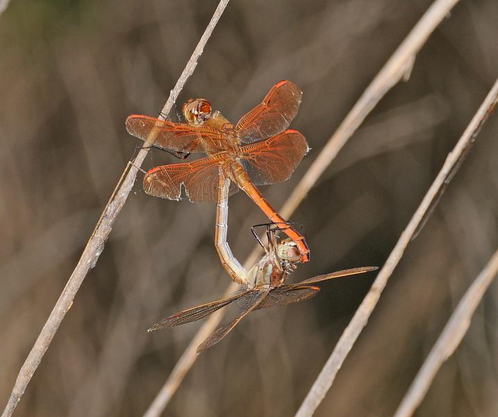 Libellula auripennis (Golden-winged Skimmer)