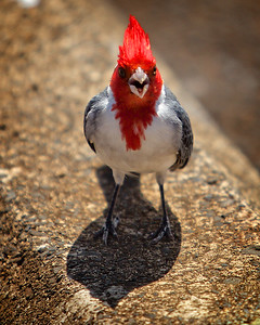 Sassy Cardinal