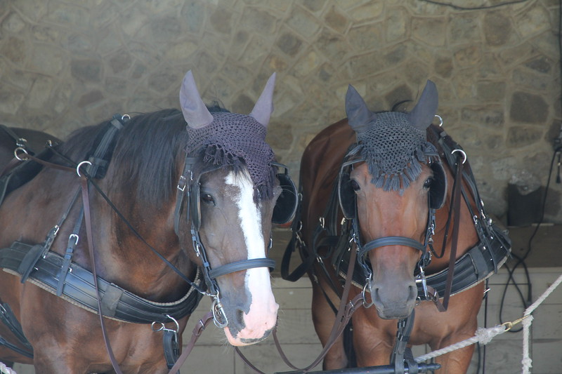 Danielle and Chauncey - the horses that pulled the carriage