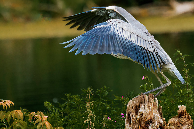 Grey Heron - Graureiher