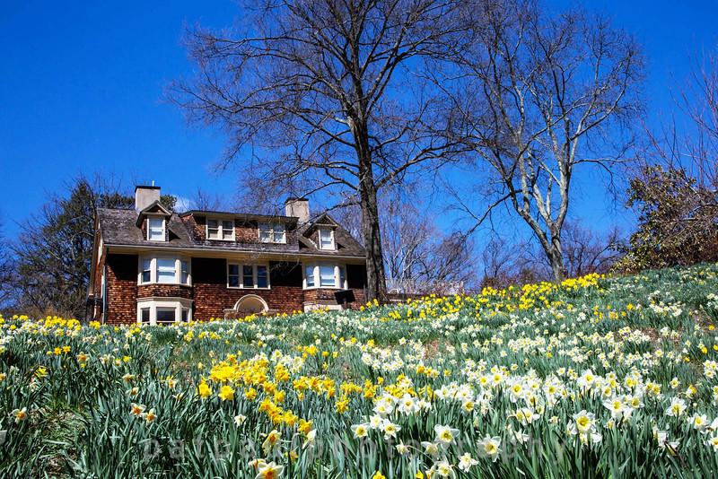 Daffodils-36.jpg