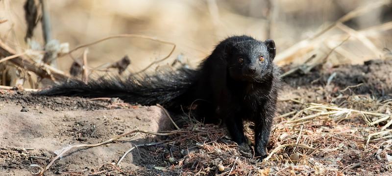 Slender Mongoose (black morph)