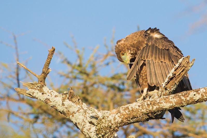 Bateleur - Juvenile - Preening - Serengeti National Park, Tanzania
