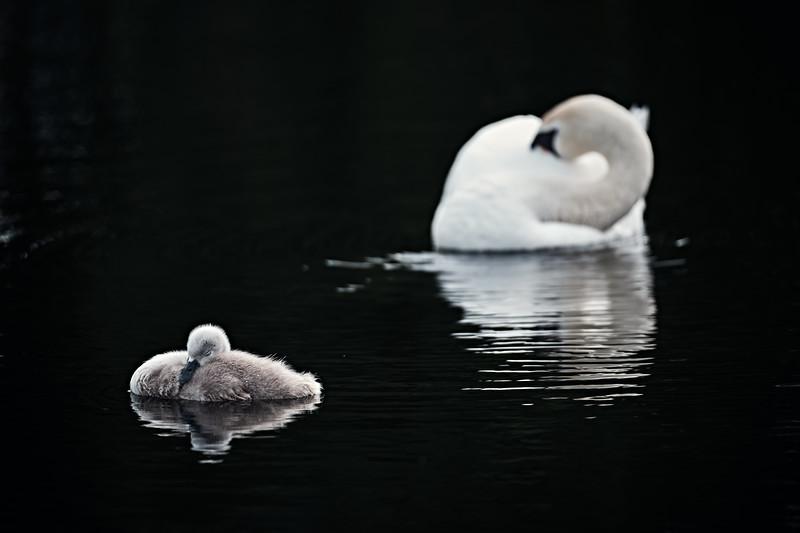 Swans_Of_Castletown011.jpg
