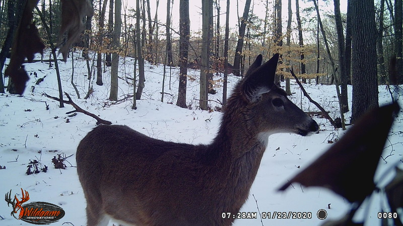 1-16-20 through 2-3-20...stills of sevreal deer and a FISHER CAT, BOBCAT and RED FOX