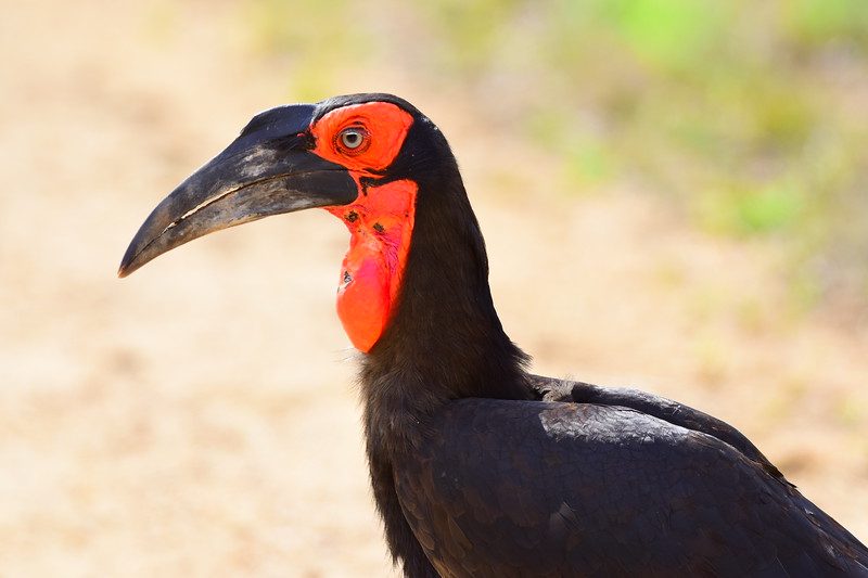 Closeup Southern Ground Hornbill