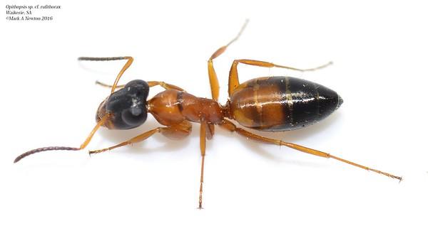 Opisthopsis rufithorax