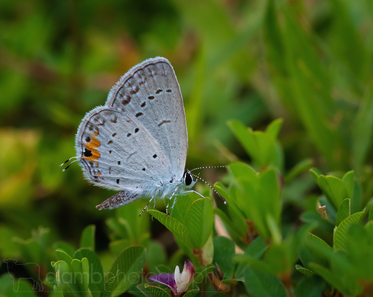 Eastern Tailed Blue Butterfly Staying Low