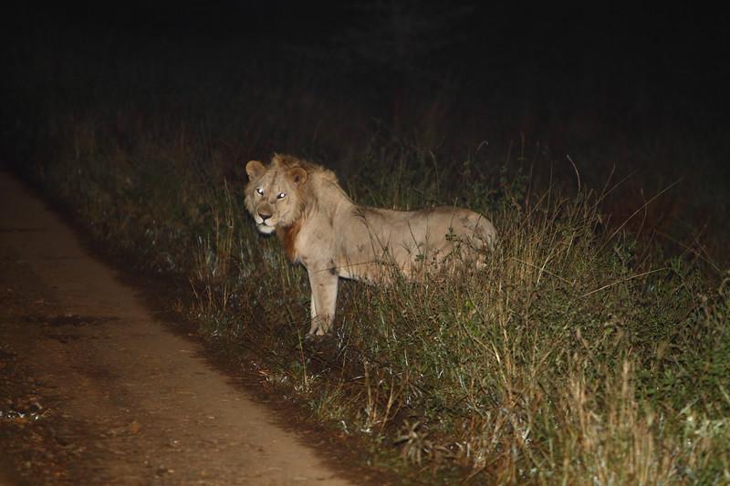 Lion on side of Road Morning.JPG