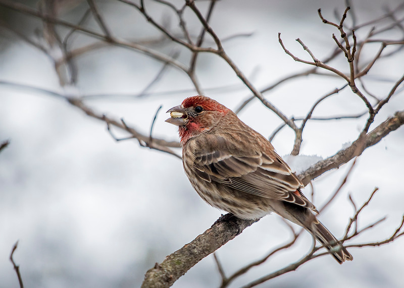 HouseFinch_03.jpg