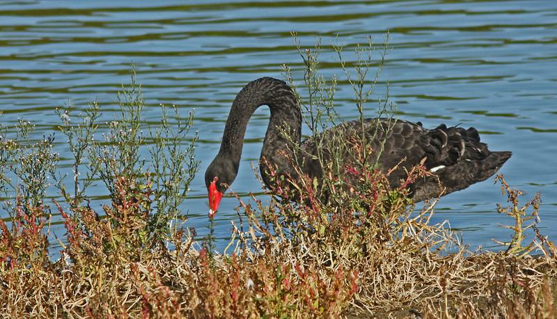 Black Swan feeding on reeds, Las Gallinas ponds