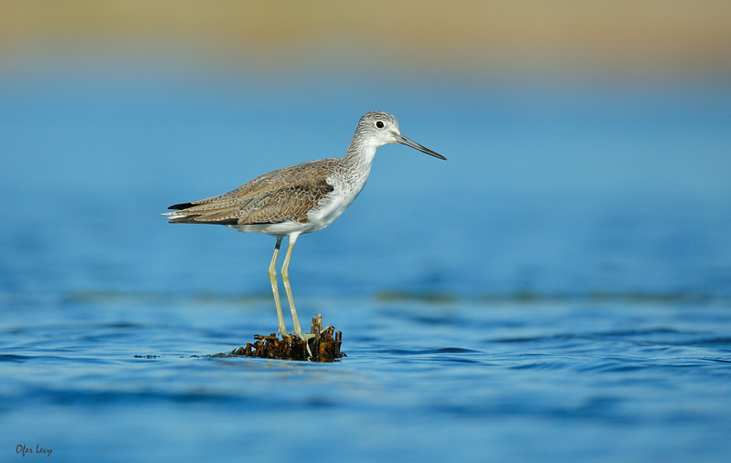 Marsh Sandpiper.jpg