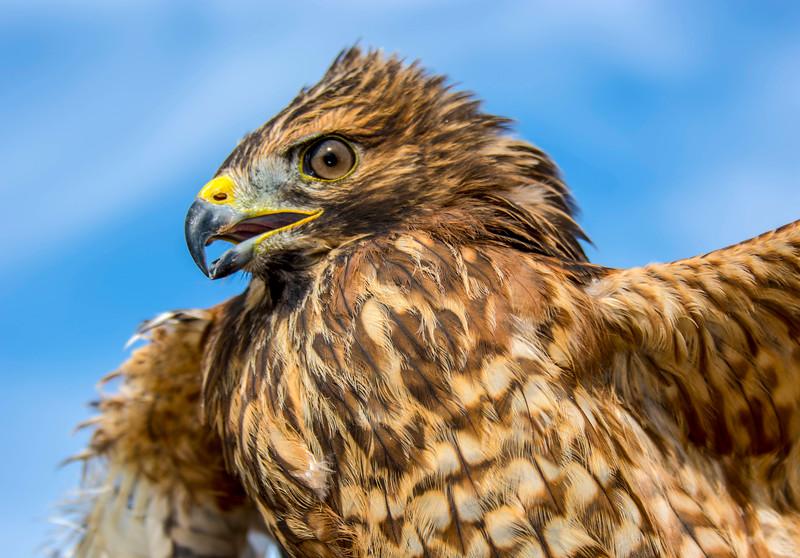 Hawks_Red Shouldered-1.jpg