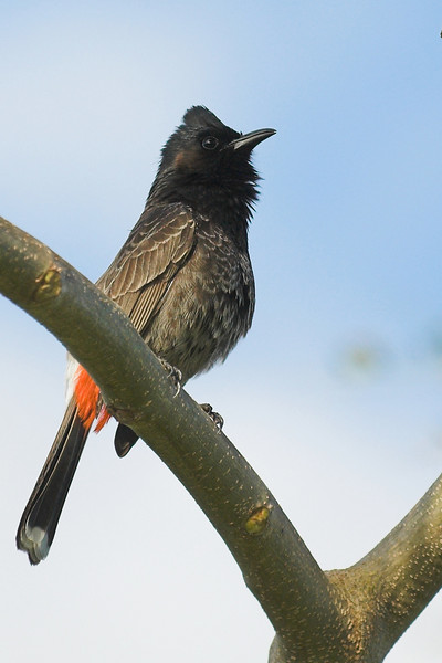A red-vented bulbul. Apparently they're real pests and tend to displace a lot of other birds but I thought that they were rather cute.