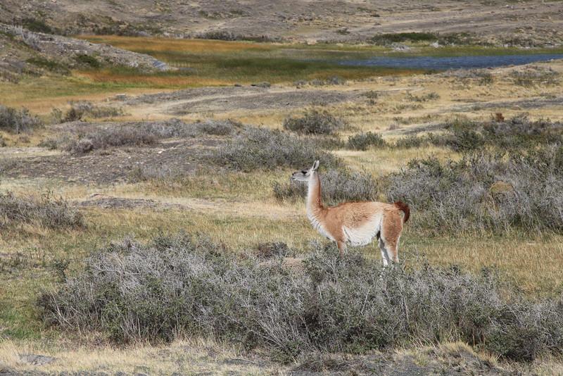 Guanaco, Torres del Paine National Park, Chile.