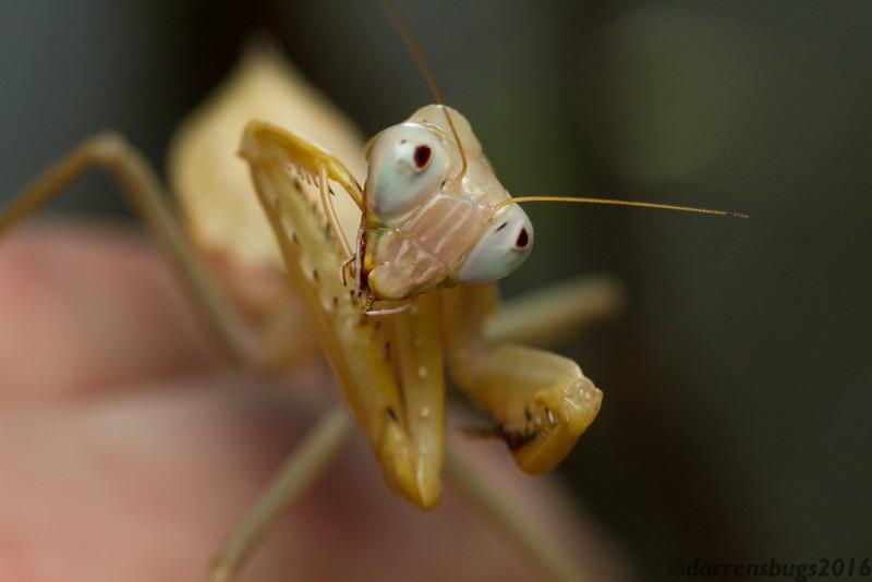 Giant Asian mantis nymph (Heirodula sp.) from Chiang Mai, Thailand.