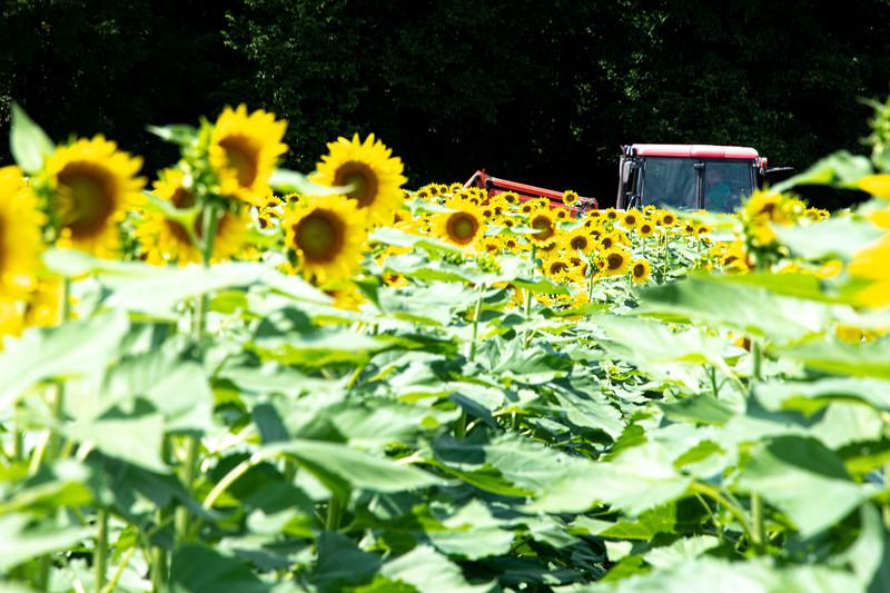 Sunflower Fields-13.jpg