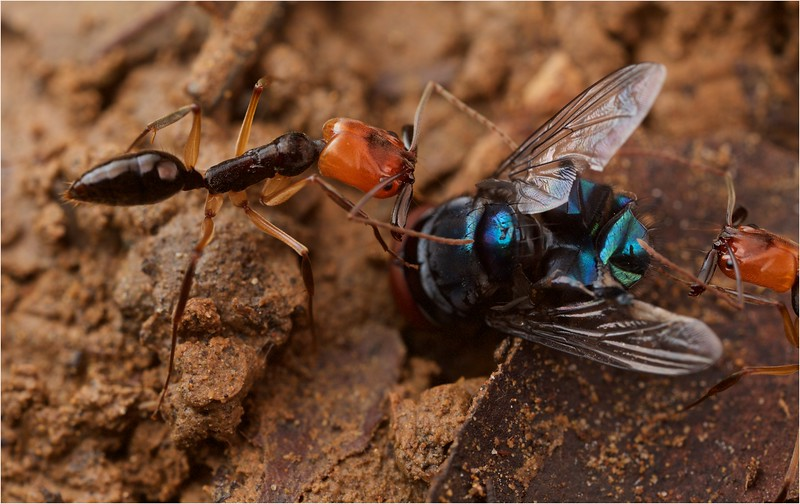 Trap jaw ant (Odontomachus erythrocephalus) with prey