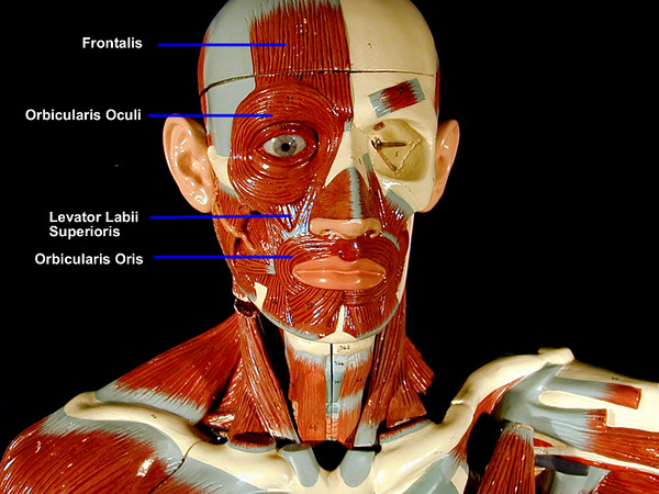 new muscular torso front view head 3 sized.jpg