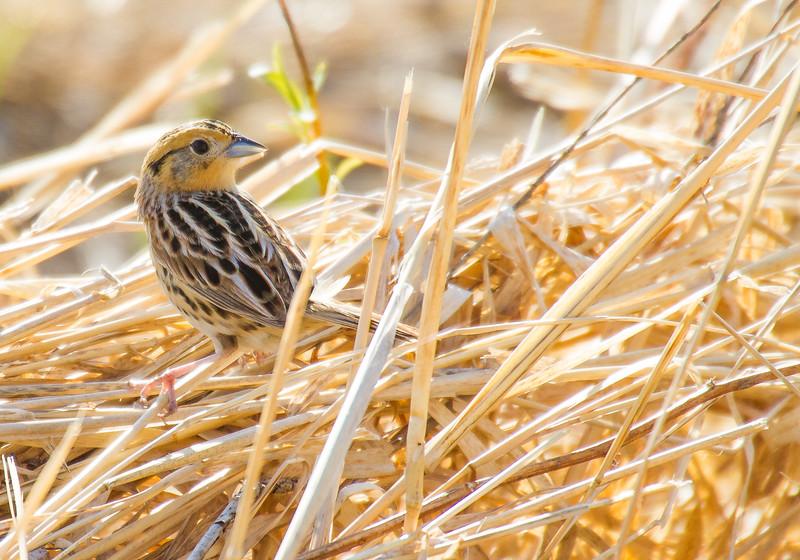 LeConte's Sparrow Dart Road Warbler Wednesday May 23 2018 Sax-Zim Bog MNIMG_0316.jpg