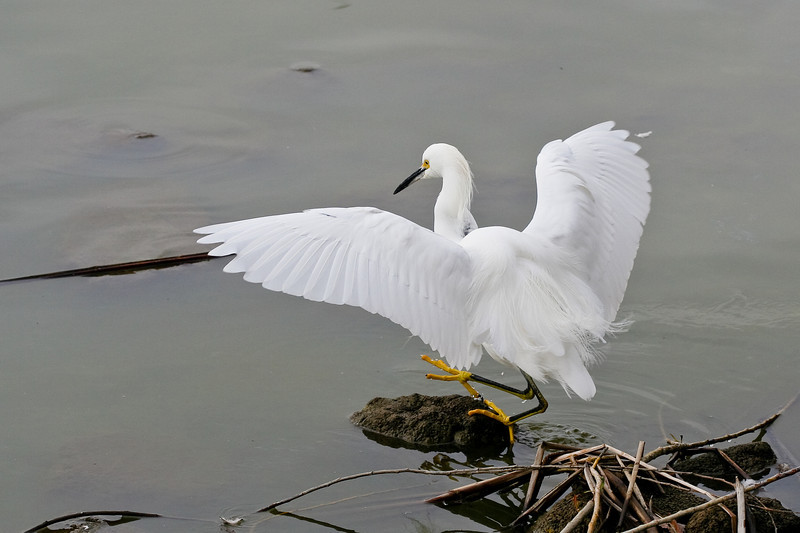 2009-01 5770 Snowy Egret.jpg