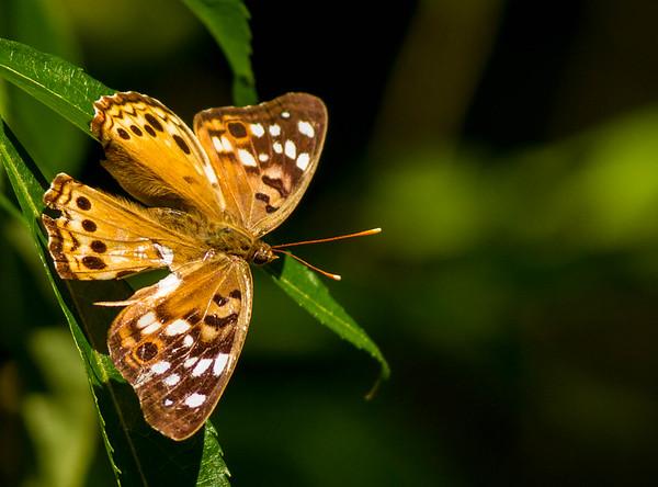 Brushfoots (Nymphalidae)