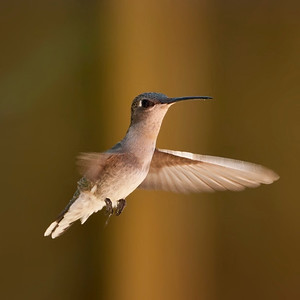 Blackchinned Hummingbird