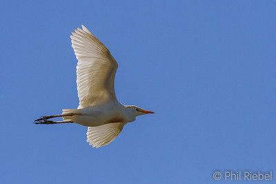 Herons, Egrets & Allies