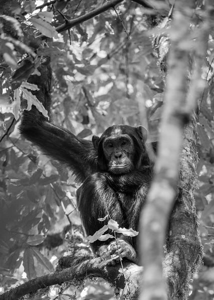 Uganda_T_Chimps-1599.jpg